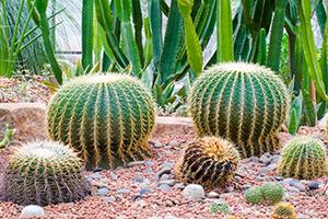Southwest Grounds barrel cacti (image)