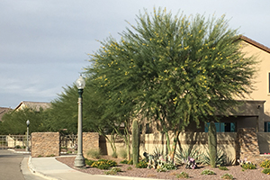 Southwest Grounds blooming mesquite tree (image)