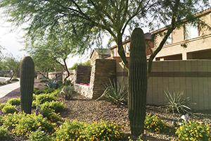 Southwest Grounds sahuaro cacti (image)