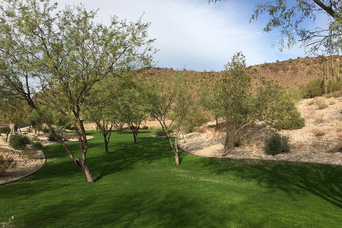 Southwest Grounds mesquite trees (image)